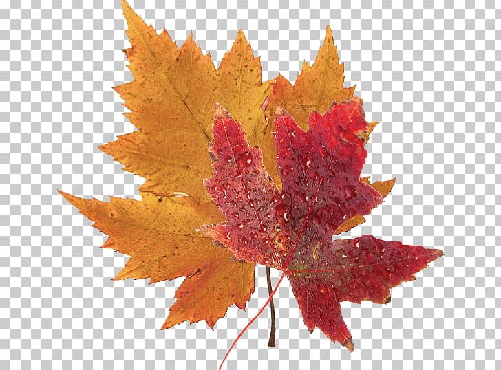 Japanese Maple Red Maple Silver Maple Autumn Leaf Color PNG, Clipart, Autumn, Autumn Leaf Color, Autumn Leaves, Color, Japanese Maple Free PNG Download