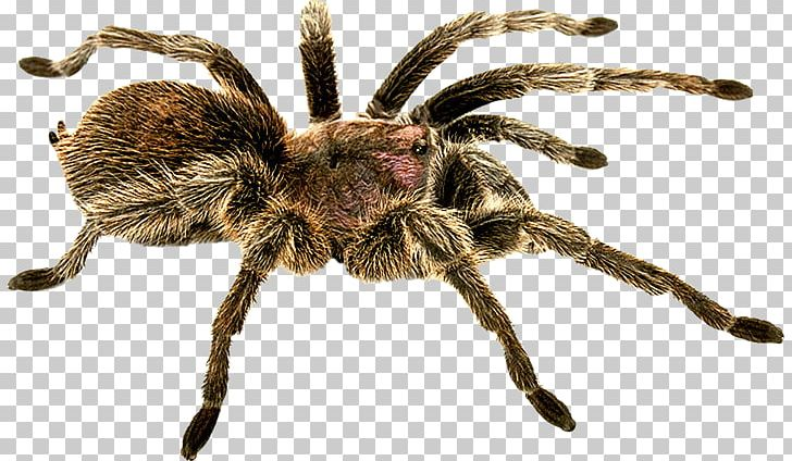 Spider PNG, Clipart, Spider Free PNG Download