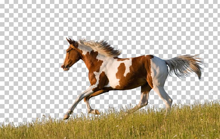American Paint Horse American Quarter Horse Friesian Horse Appaloosa Pinto Horse PNG, Clipart, Animal, Animals, Breed, Bridle, Buckskin Free PNG Download