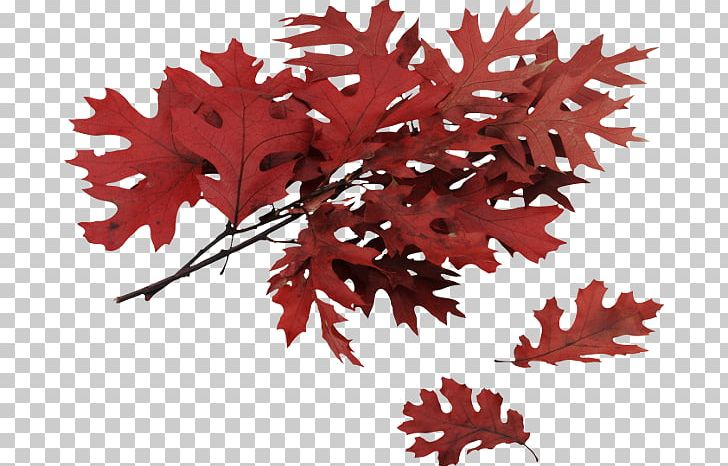 Autumn Leaf Color Northern Red Oak PNG, Clipart, Autumn, Autumn Leaf Color, Branch, Computer Icons, Flowering Plant Free PNG Download