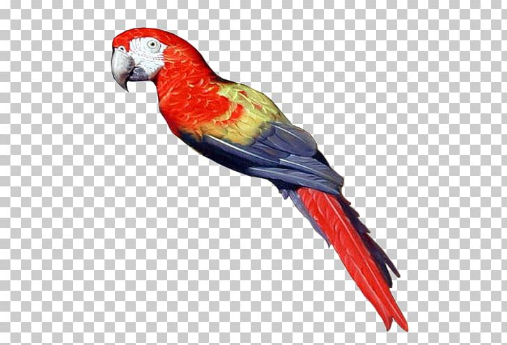 Pirate Parrot Bird Parakeet PNG, Clipart, Animal, Animals, Beak, Bird, Blog Free PNG Download