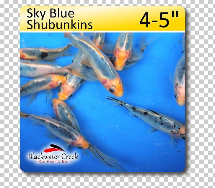 Shubunkin Koi Sky Blue Fish PNG, Clipart, Animals, Biology