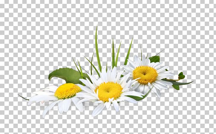 Portable Network Graphics Chamomile Psd Adobe Photoshop File