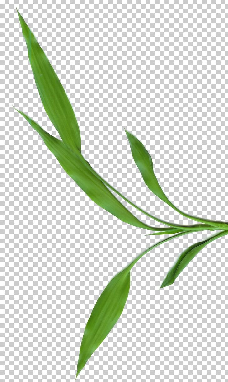 Tropical Woody Bamboos Photography Leaf PNG, Clipart, Blog