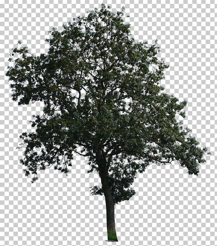 imgbin tree desktop branch eucalyptus