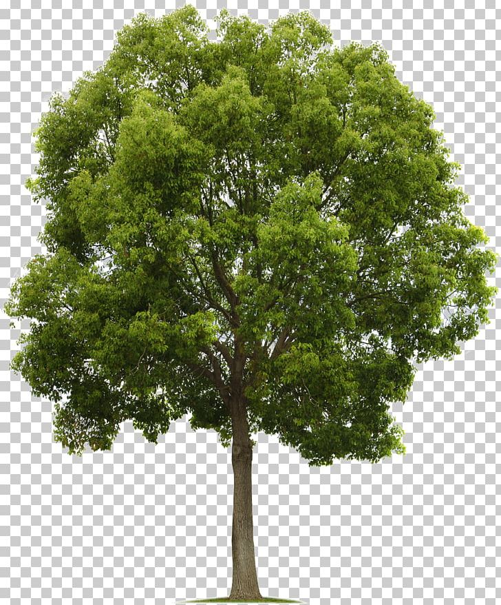 Populus Nigra Tree Deciduous PNG, Clipart, Branch, Clip Art, Computer Icons, Cottonwood, Deciduous Free PNG Download