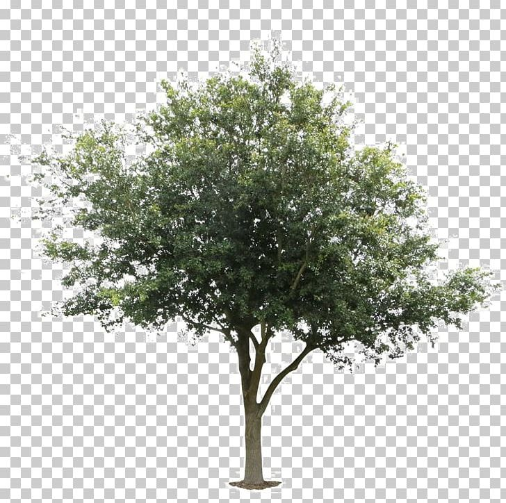 Tree Deciduous Plant Architecture Wood PNG, Clipart, Acorn, Architectural, Architecture, Black Locust, Branch Free PNG Download