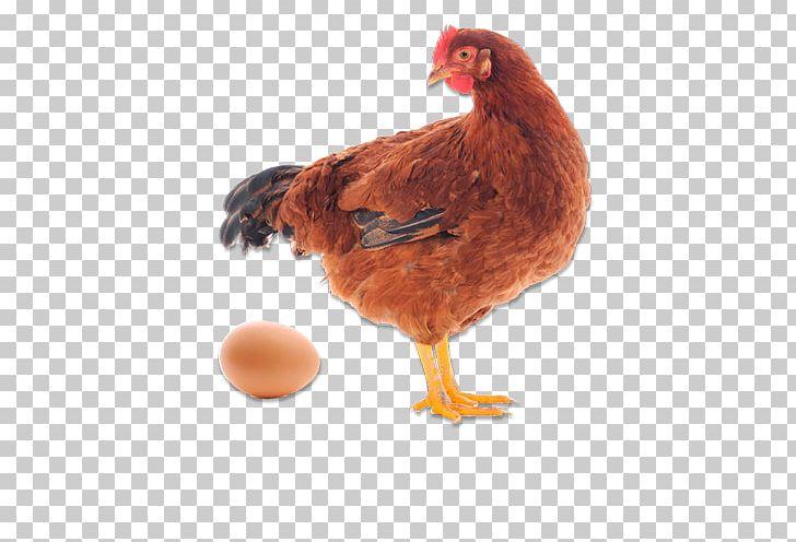 Wyandotte Chicken Quail Egg Hen Galliformes PNG, Clipart, Barbecue Chicken, Beak, Bird, Breed, Chicken Free PNG Download
