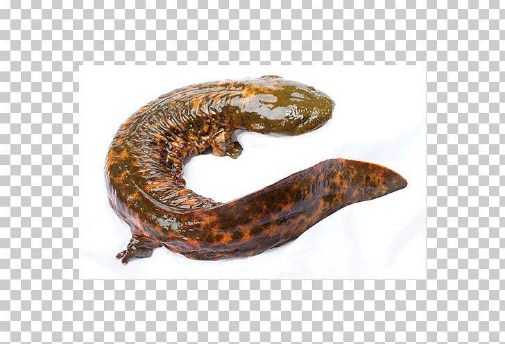 Giant Salamanders Hellbender Otter Chinese Giant Salamander