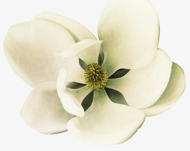 White Magnolia Flowers Png Clipart Beauty In Nature Blossom