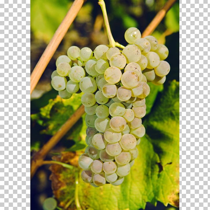 Sultana Savagnin Petite Arvine Canton Of Valais Wine PNG, Clipart, Amazon Grape, Canton Of Valais, Chasselas, Common Grape Vine, Flowering Plant Free PNG Download