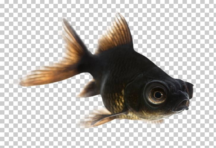 Black Telescope Fantail Common Goldfish Comet Shubunkin PNG, Clipart, Animals, Black Telescope, Bony Fish, Calico, Coldwater Fish Free PNG Download