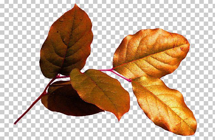 Chișinău Leaf Осенние листья Deciduous PNG, Clipart, Chisinau, Deciduous, Homo Sapiens, Leaf, Material Free PNG Download