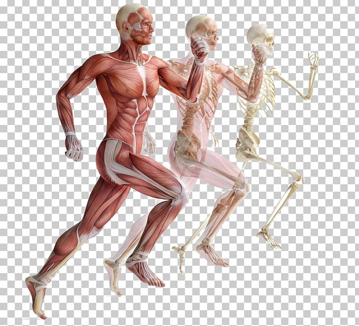 Skeletal Muscle Human Skeleton Muscular System PNG, Clipart, Abdomen, Anatomy, Arm, Cardiac Muscle, Chest Free PNG Download