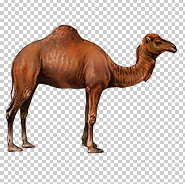 Camel Drawing PNG, Clipart, Animal, Animals, Arabian Camel