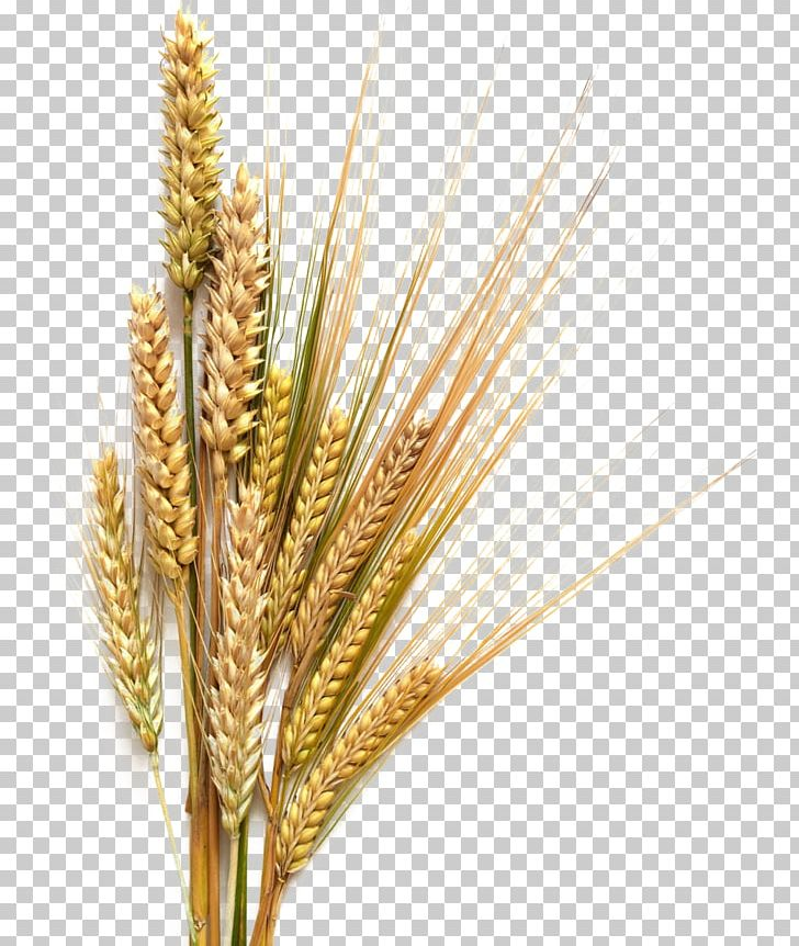 Clip Art Wheat Grain Cereal Barley - Triticale - Plant Transparent PNG