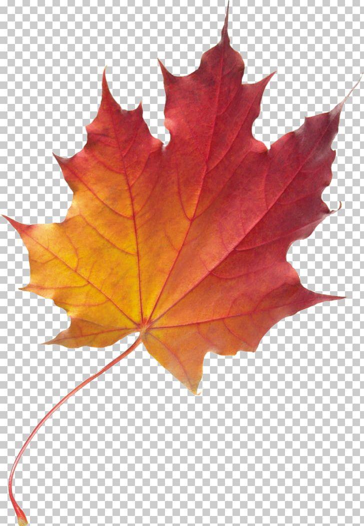 Maple Leaf Autumn Leaf Color PNG, Clipart, Autumn, Autumn Leaf Color, Color, Foliage, Leaf Free PNG Download