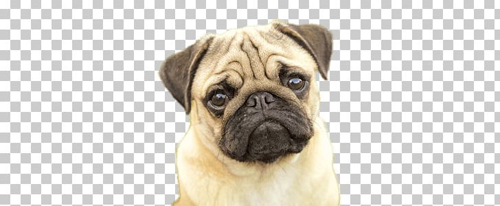 Pug Face PNG, Clipart, Animals, Pugs Free PNG Download (728 x 300 Pixel)