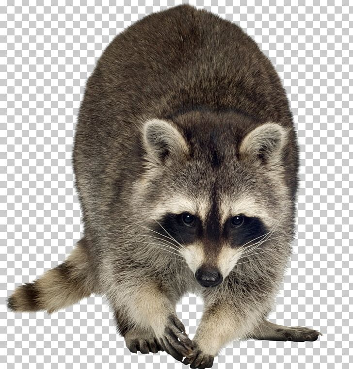 Raccoon Dog Rodent PNG, Clipart, Animal, Animals, Carnivoran, Clip Art, Dog Free PNG Download