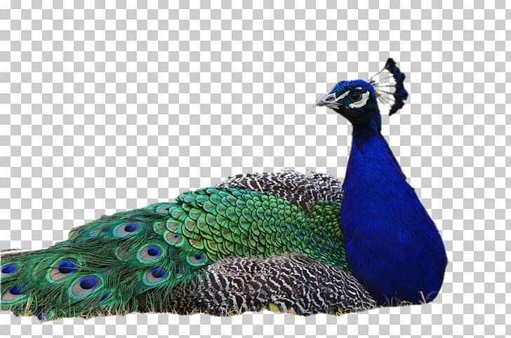 Pavo Bird Asiatic Peafowl PNG, Clipart, Animals, Asiatic Peafowl, Beak, Bird, Computer Icons Free PNG Download