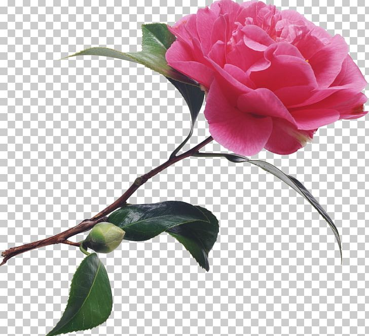 Camellia Flower Meaning In Telugu Best Flower Wallpaper