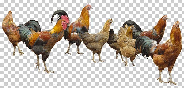 Appenzeller Spitzhauben White Faced Black Spanish Poultry