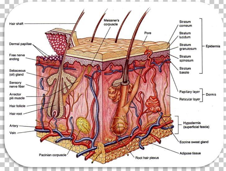 Integumentary System Anatomy Organ System Human Body PNG