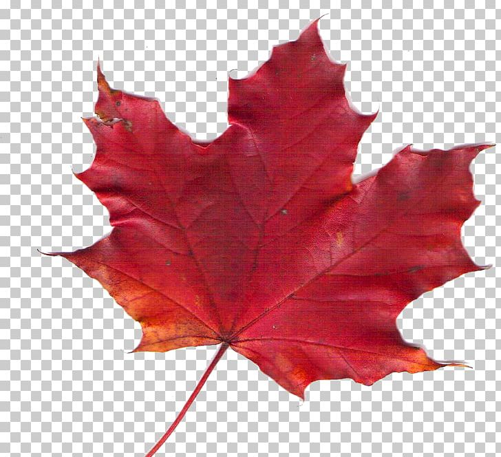 Maple Leaf Autumn Leaf Color Red Maple PNG, Clipart, Autumn Leaf Color, Chinese Traditional, Chinese Traditional Red Eaves, Chlorophyll, Color Free PNG Download