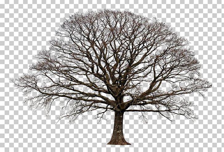 Tree Blackjack Oak Deciduous Fiddle-leaf Fig PNG, Clipart, Angel Oak, Ash, Banyan, Bark, Branch Free PNG Download