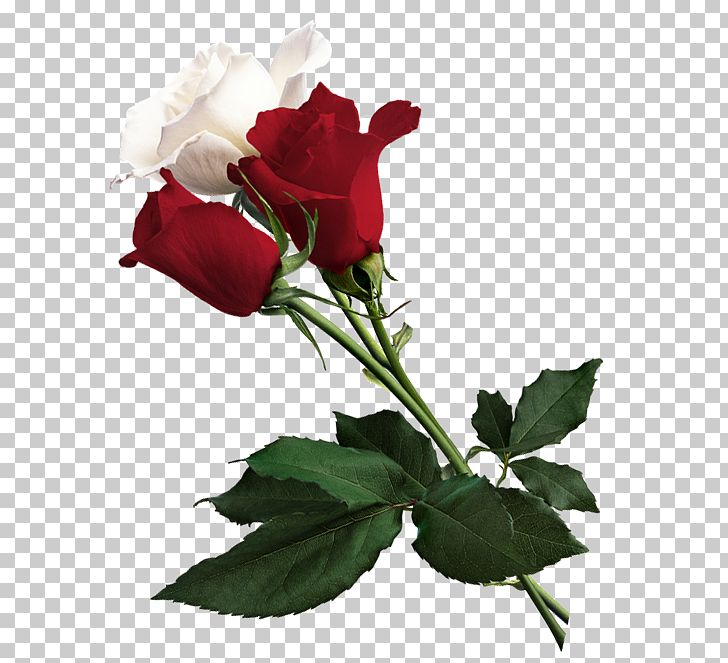 White Rose Of York Flower Red White Rose Of York PNG, Clipart, China Rose, Clipart, Cut Flowers, Floral Design, Floribunda Free PNG Download