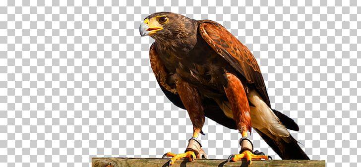 Hawk Buzzard Eagle Fauna Beak PNG, Clipart, Accipitriformes, Animals, Beak, Bird, Bird Of Prey Free PNG Download