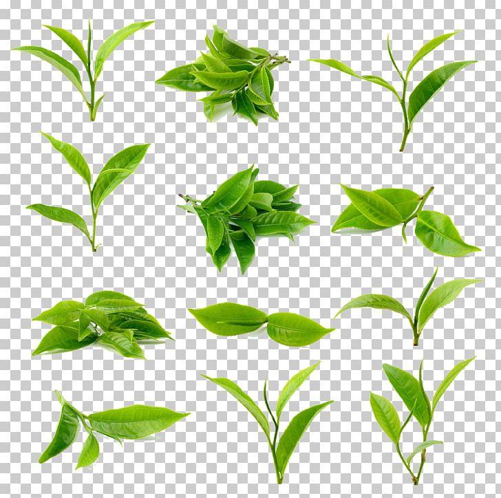 Green Tea Matcha Black Tea PNG, Clipart, Backgr, Branch, Bubble Tea, Camellia Sinensis, Clip Art Free PNG Download
