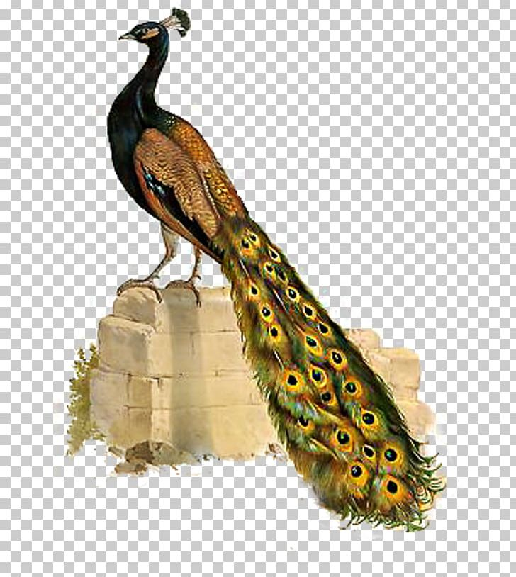 Bird Asiatic Peafowl Phasianidae PNG, Clipart, Animal, Animals, Asiatic, Asiatic Peafowl, Beak Free PNG Download
