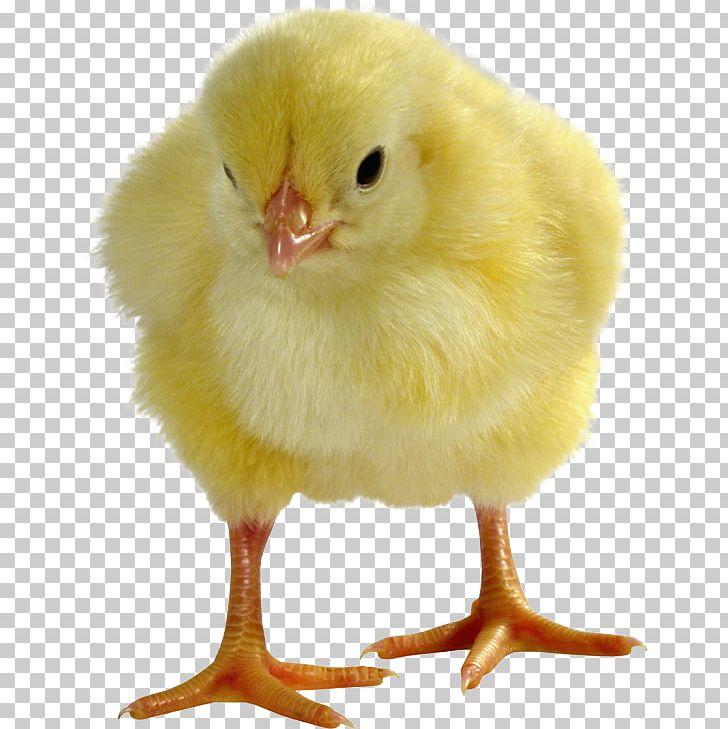 Broiler Cochin Chicken Australorp Orpington Chicken Brahma