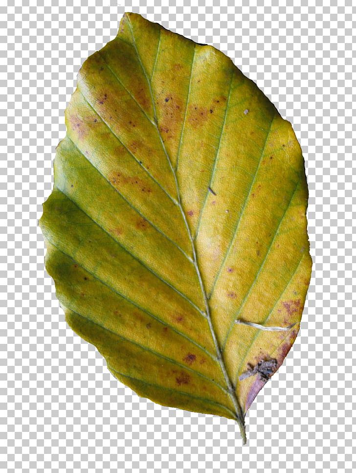 Leaf Research PDF Deciduous PNG, Clipart, Beech Tree, Blog, Deciduous, Information, Leaf Free PNG Download