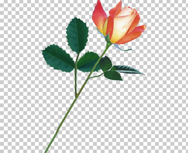 Garden Roses Cabbage Rose Cut Flowers Bud Petal PNG, Clipart, Bud, Cicek Resimleri, Cut Flowers, Flower, Flowering Plant Free PNG Download