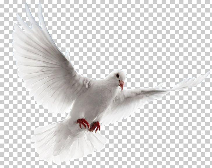 Rock Dove Columbidae PNG, Clipart, Beak, Bird, Columbidae, Computer Icons, Data Compression Free PNG Download