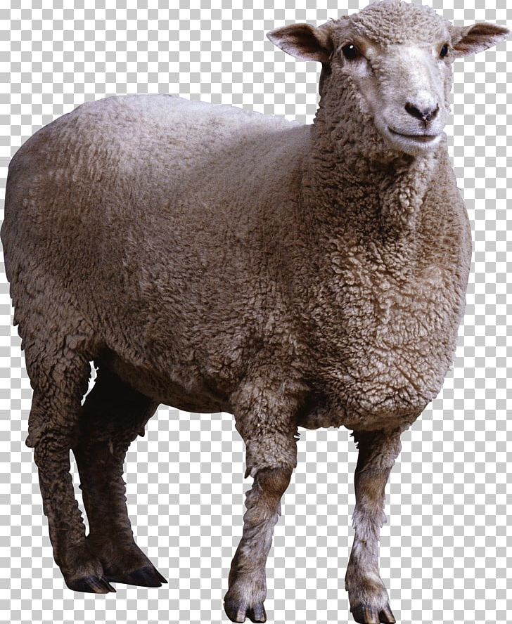 Sheep Wiki Computer File PNG, Clipart, Animals, Computer File, Computer Icons, Cow Goat Family, Dots Per Inch Free PNG Download