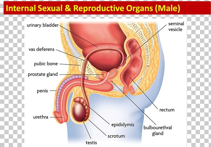 Reproductive System Function Human Body PNG, Clipart ... on