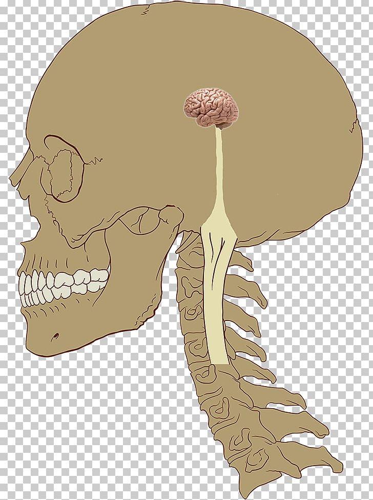Central Nervous System Brain Nerve Human Body PNG, Clipart, Anatomy, Bone, Brain, Central Nervous System, Cervical Vertebrae Free PNG Download