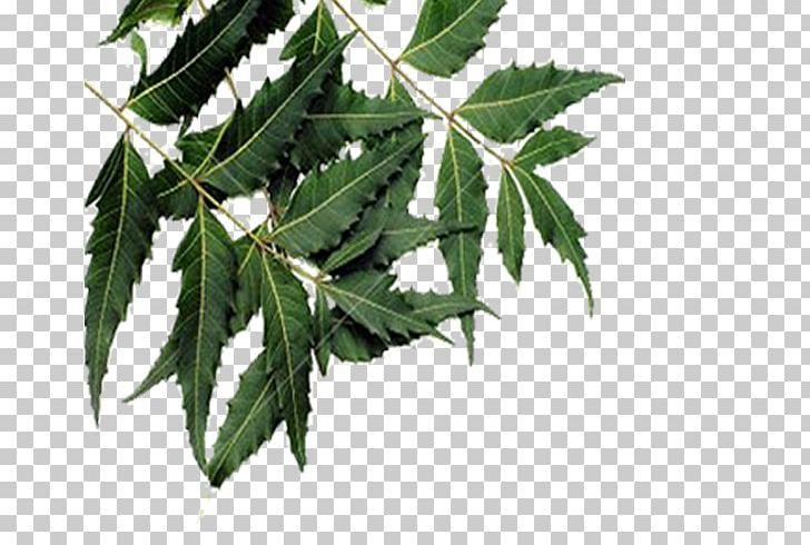 Leaf Neem Tree Neem Oil Plant PNG, Clipart, Anthelmintic