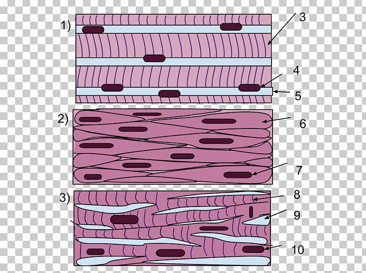 Smooth Muscle Tissue Skeletal Muscle PNG, Clipart, Anatomy, Angle, Are, Bone, Cardiac Muscle Free PNG Download