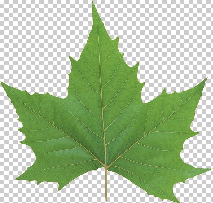 Leaf Look At Leaves Computer Icons PNG, Clipart, Autumn Leaf Color, Clip Art, Computer Icons, Desktop Wallpaper, Download Free PNG Download