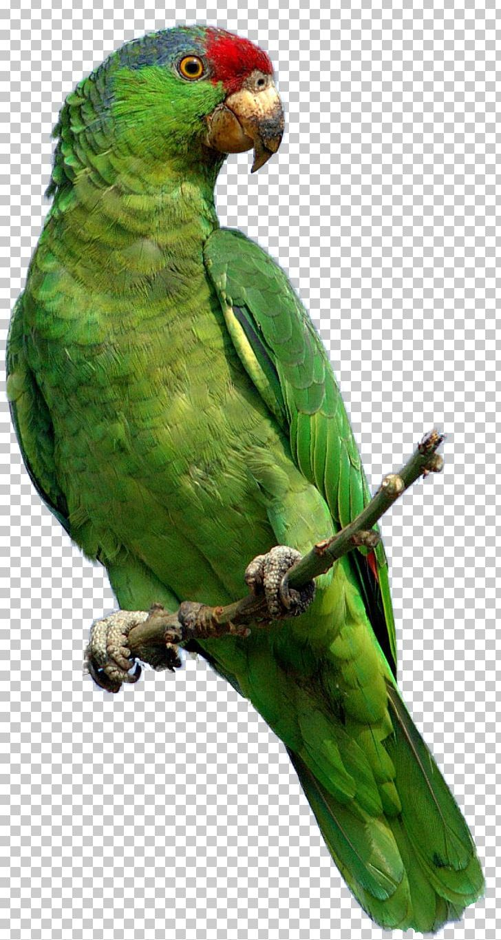 Parrot PNG, Clipart, Animals, Beak, Bird, Common Pet Parakeet, Computer Icons Free PNG Download