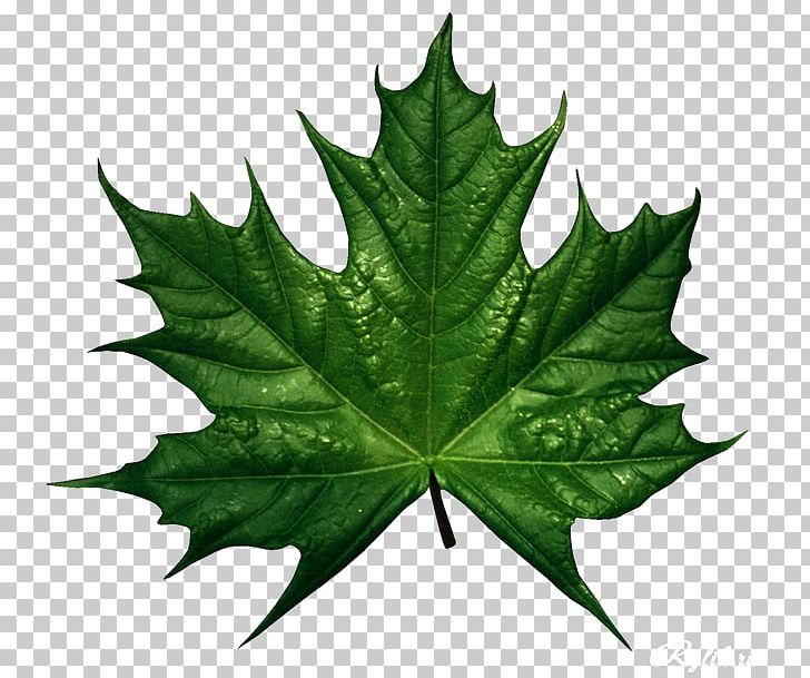 Autumn Leaf Color Green PNG, Clipart, Autumn, Autumn Leaf Color, Desktop Wallpaper, Drawing, Green Free PNG Download