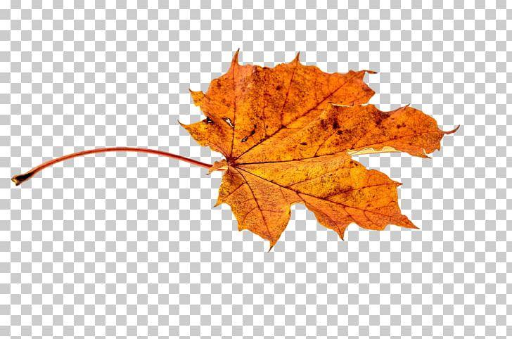 Autumn Leaf Color Orange PNG, Clipart, Autumn, Autumn Leaf Color, Color, Green, Leaf Free PNG Download