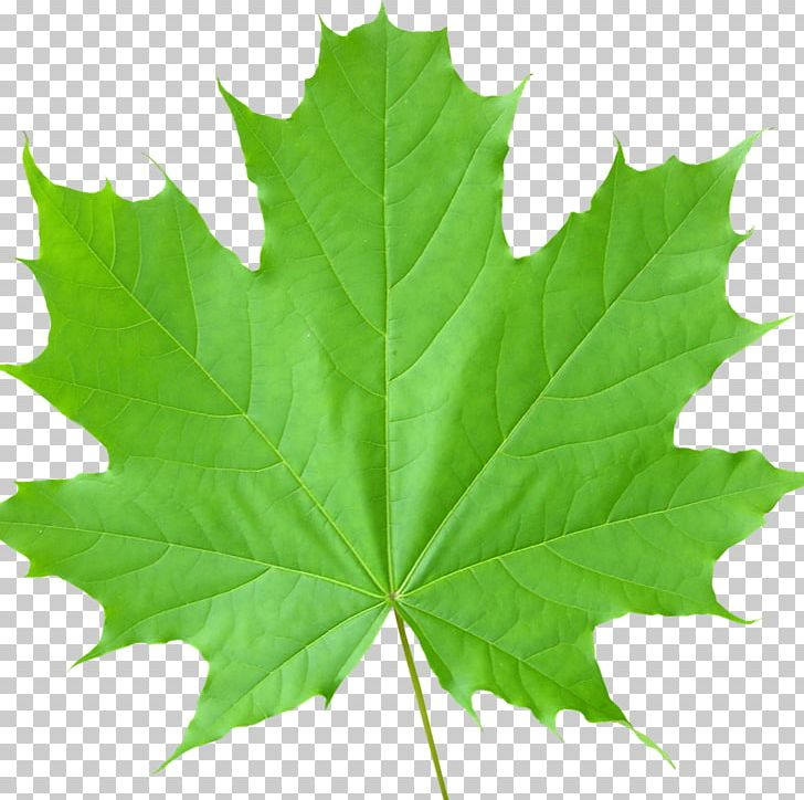 Sugar Maple Maple Leaf Tree Autumn Leaf Color PNG, Clipart, Autumn Leaf Color, Birch, Food, Green, Leaf Free PNG Download
