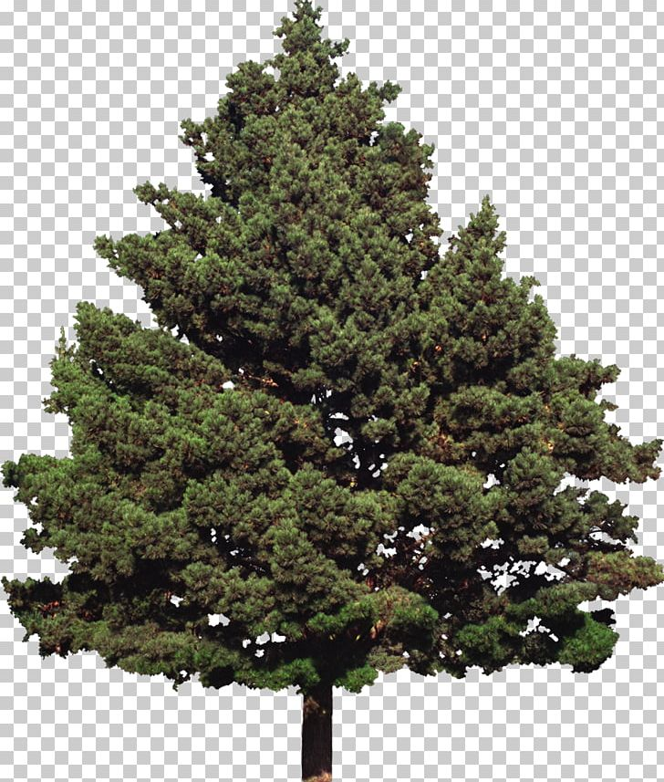 Fir Tree Conifers Evergreen Pine Png Clipart Biome Branch Christmas Decoration Conifer Free