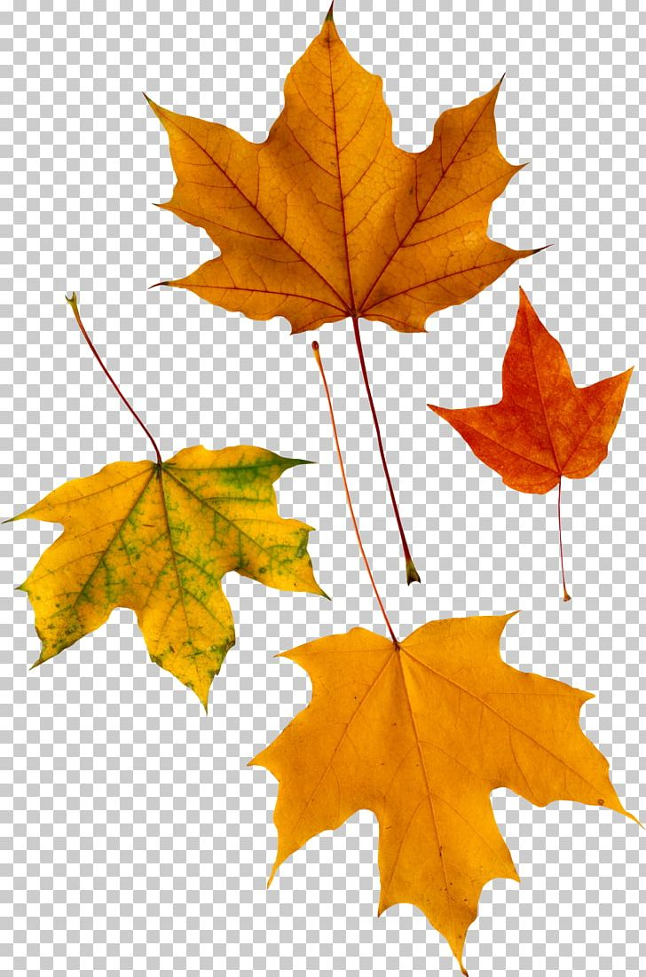 Red Maple Autumn Leaf Color PNG, Clipart, Autumn, Autumn Leaf Color, Autumn Leaves, Autumn Png Leaf, Computer Icons Free PNG Download