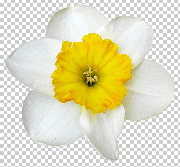 Daffodil Narcissus White PNG, Clipart, Amaryllidaceae, Amaryllis Family, Bulb, Daffodil, Data Free PNG Download